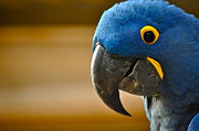 Hyacinth Macaw Posters - Happy Hyacinth Poster by Gwyn Newcombe