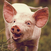 Pig Photo Posters - Happy Little Piglet Poster by Liesel Conrad