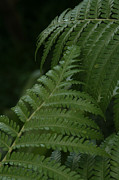 And Forests Digital Art - Hapuu Pulu Hawaiian Tree Fern - Cibotium splendens by Sharon Mau