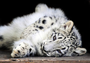 Grey Photo Framed Prints - Hara...Snow Leopard Cub Framed Print by Stephie Butler