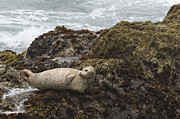 Looking Back Photos - Harbor Seal  Point Lobos State Reserve by Sebastian Kennerknecht