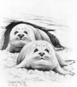 Canadian Art Drawings Drawings Posters - Harbor Seal Pups Poster by Bob Patterson