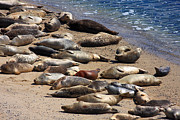 Beaches Posters - Harbor Seals Sunbathing On The Beach . 40D7553 Poster by Wingsdomain Art and Photography