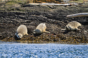 Strait Of Juan De Fuca Posters - Harbour seals Poster by Louise Heusinkveld