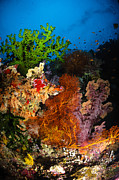 Colorful Tropical Fish  Photos - Hard Coral And Soft Coral Seascape by Todd Winner