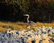 Great Birds Prints - Hard Rock Heron Print by Al Powell Photography USA