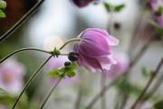 Hardy Grape Leaf Anemone Print by   DonaRose
