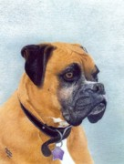 Boxer Dog Drawings Framed Prints - Harlee Framed Print by Karolann Hoeltzle