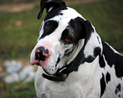 Dog Photo Framed Prints - Harlequin Great Dane Framed Print by Jai Johnson