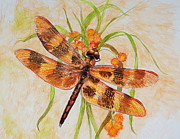 Dragonfly Drawings Framed Prints - Harlequin Pennant Dragonfly Framed Print by Janice  McCafferty