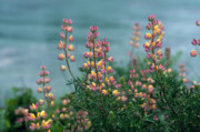 Lupines Framed Prints - Harlequins in Harmony Framed Print by Kathy Yates