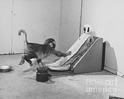 Harlow Metal Prints - Harlow Monkey Experiment Metal Print by Science Source