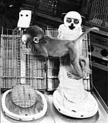 Harlow Metal Prints - Harlows Monkey Experiment Metal Print by Photo Researchers, Inc.