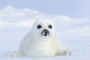 Canadian Wildlife Posters - Harp Seal (pagophilus Groenlandicus) Very Young Pup, Magdalen Islands, Qubec, Canada Poster by Werner Bollmann