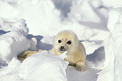 Front View Art - Harp Seal Phoca Groenlandicus Pup, Gulf by Gerry Ellis