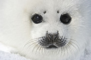 Y120817 Art - Harp Seal Pup by Daisy Gilardini