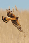 Hunting Bird Metal Prints - Harrier Over Golden Grass Metal Print by William Jobes