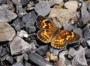 Checkerspot Art - Harris Checkerspot by Randy Bodkins