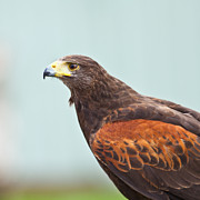 Dusky Prints - Harris Hawk Print by Gabriela Insuratelu