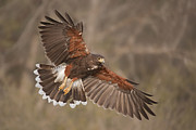 Hector D Astorga - Harris Hawk in Flight