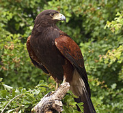 Peter Chapman - Harris Hawk