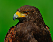 Eagle-eye Metal Prints - Harriss Hawk Metal Print by Tony Beck