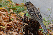 Sparrow Art - Harriss Sparrow in Autumn. by Ken Simonite