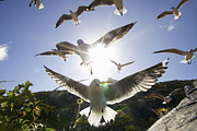 Flock Of Bird Art - Hartlaubs Gulls Flying Away, Hout Bay, Western Cape, South Africa by Heinrich van den Berg