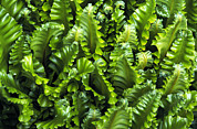 Hart Framed Prints - Harts Tongue Fern Framed Print by Archie Young