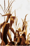 Sweet Corn Farm Prints - Harvest Corn Stalks - Gold Print by Angela Rath