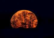 Halloween Night Prints - Harvest  Moon Rising Print by William Jobes
