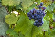Pinot Noir Photos - Harvest Ready by Jean Noren