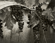 Wine Making Prints - Harvest Time Print by Marion McCristall