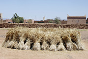Moroccan Photos - Harvested Wheat by Johnny Greig