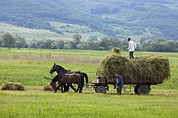 Cart Horse Photos - Harvesting Using Horses And Cart by Bob Gibbons