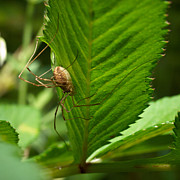 Harvestmen Photos - Harvestman by Jouko Lehto
