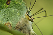 Harvestmen Photos - Harvestman Side View by Douglas Barnett