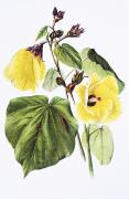 Hawaiian Legacy Archive Posters - Hau Flower Art Poster by Hawaiian Legacy Archive - Printscapes