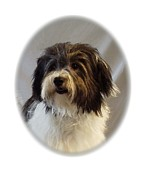 Havanese Framed Prints - Havanese 125 Framed Print by Larry Matthews