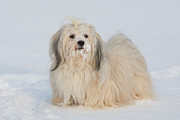 Havanese Framed Prints - Havanese Dog In The Snow! Framed Print by @Hans Surfer