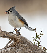 Titmouse Photo Originals - Have a nut by Roni Chastain