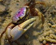 Fiddler Crab Prints - Have You Seen My Fiddle Print by East Coast Barrier Islands Betsy A Cutler