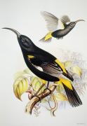 Yellow Beak Painting Posters - Hawaii Mamo Poster by Hawaiian Legacy Archive - Printscapes