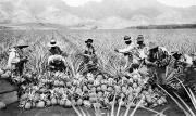 Islander Prints - Hawaii: Pineapple Harvest Print by Granger