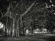 Banyan Prints - Hawaiian Banyan Tree Root Study Print by Daniel Hagerman