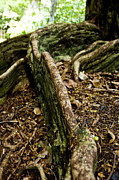 Tree Roots Photos - Hawaiian Cypress by Micah May