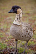 Extinct Bird Prints - Hawaiian Goose - Nene - Closeup - full body Print by Denis Dore