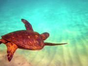 Hawaiian Green Sea Turtle Print by Bette Phelan