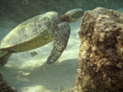 Free Diving Prints - Hawaiian Green Sea Turtle Print by Michael Peychich