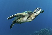 Islands Prints - Hawaiian Green Sea Turtle Print by Photo by Barry Fackler